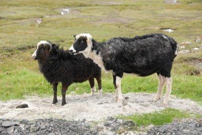 sheep, Streymoy