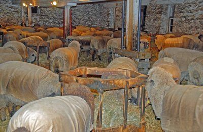 Sheep living with extra barn supports