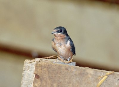 young barn swallow watching us work