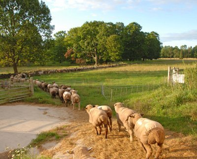 flock heading out to distant pasture