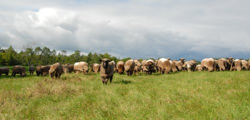 Grazing on the big hay field