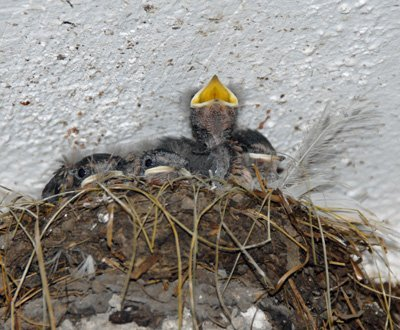 the last nest of Barn Swallows for 2015