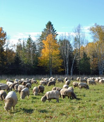 Sheep in pasture #3