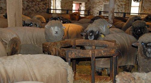 Flock prior to shearing