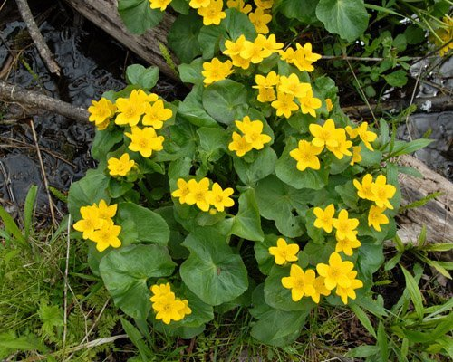 Marsh Marigolds close up