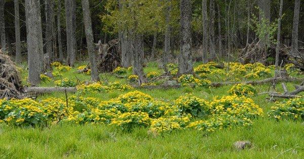 Marsh Marigolds overview