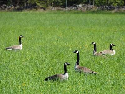 Geese in pasture #3
