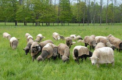 visiting the sheep