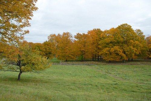 maple grove in fall