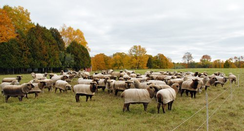 sheep in pasture next to the road