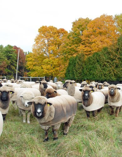 """sheep in the """"orchard"""" pasture"""
