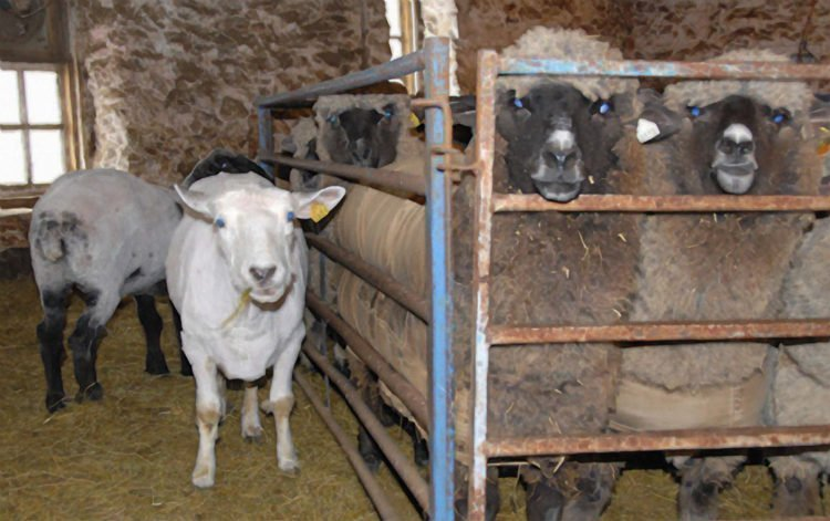 Shearing - Zahra and friends