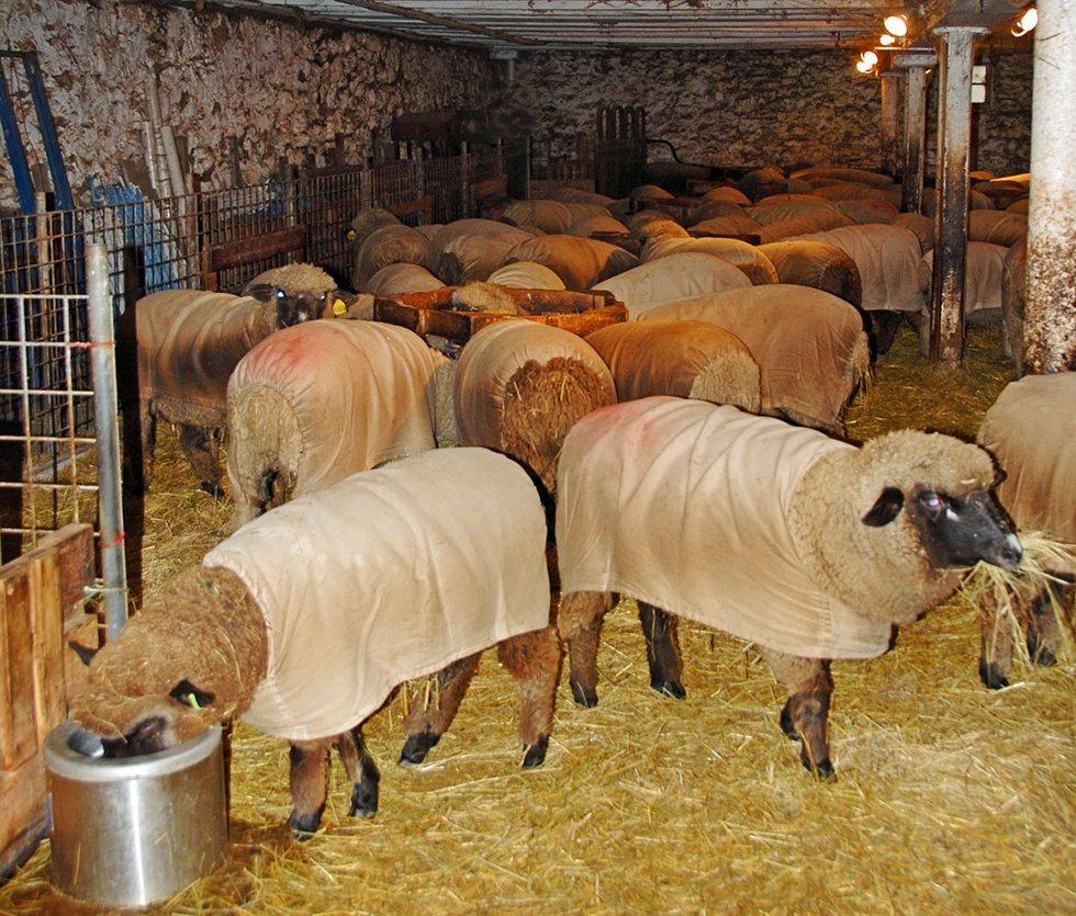 Sheep Album Late Winter