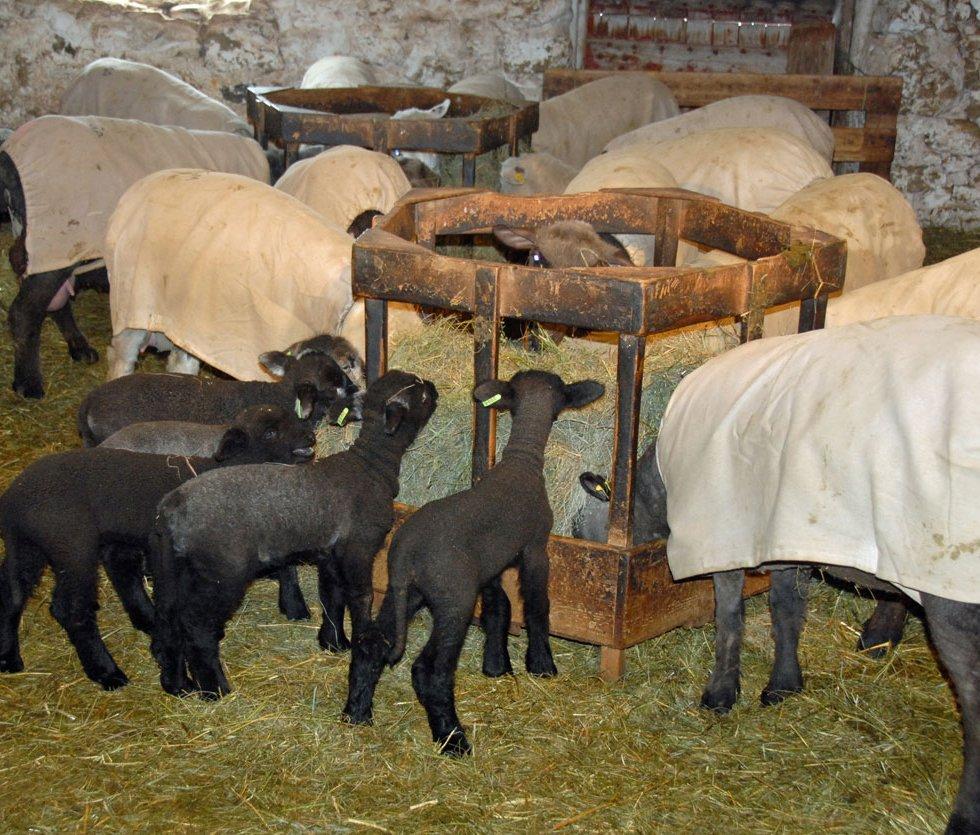 Sheep Album - Family Units