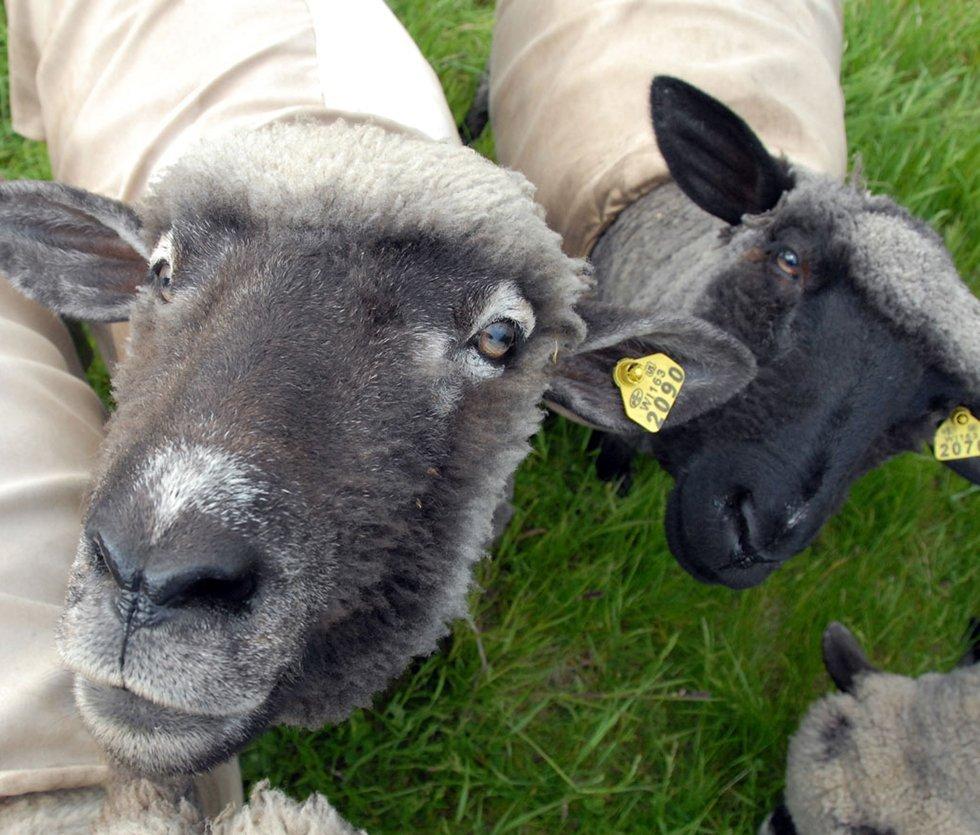 sheepalbum sheep socializing