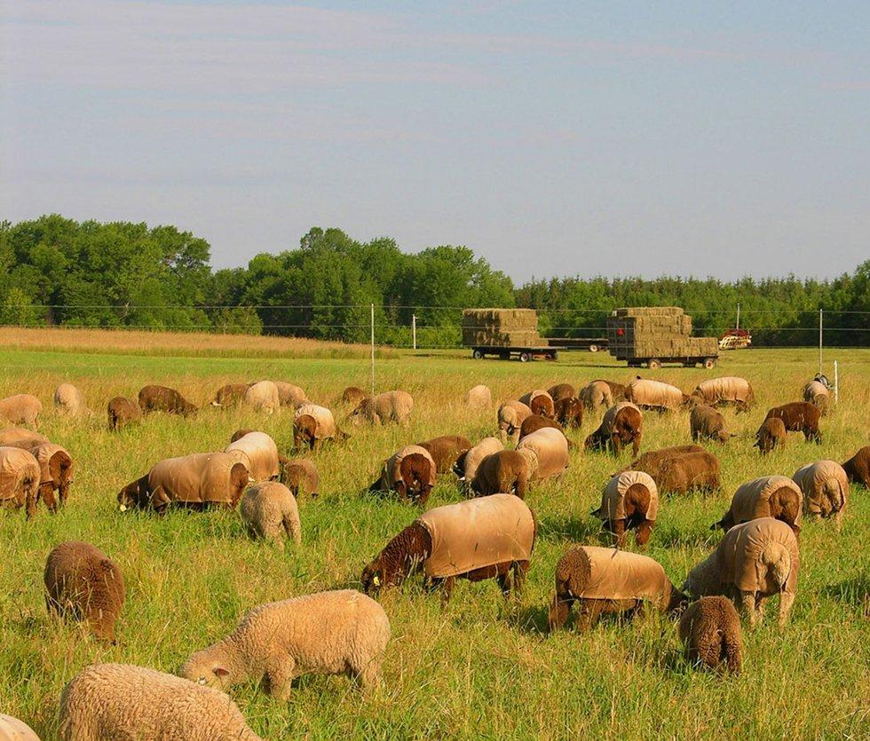 sheep album late seas on grazing