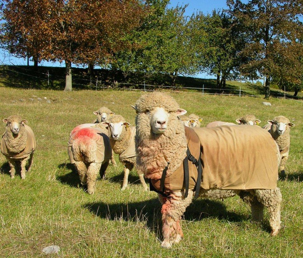 sheepalbum red spray