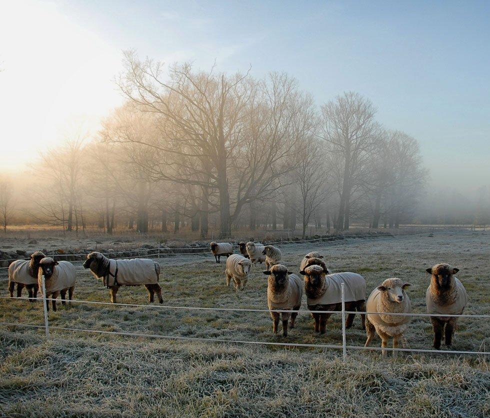 sheepalbum fall frost