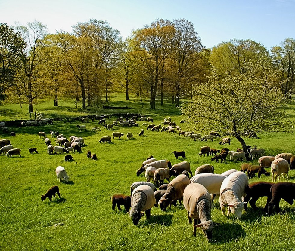 Sheep grazing in early spring