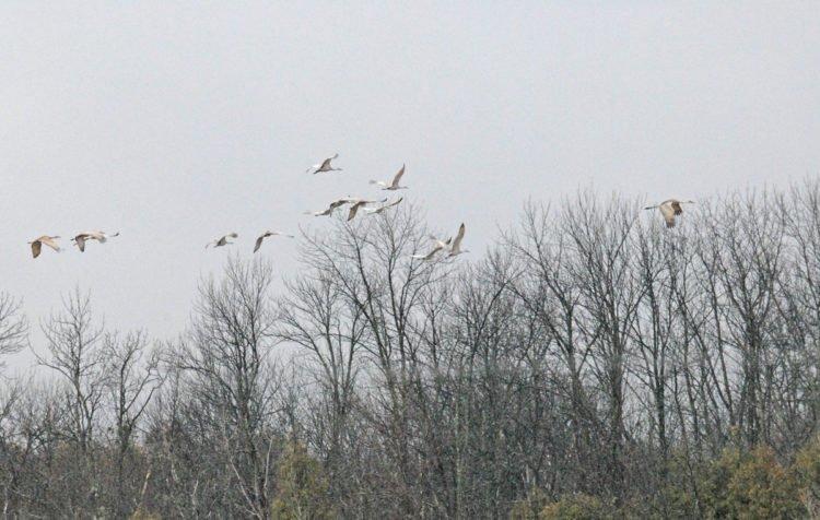Cranes in April