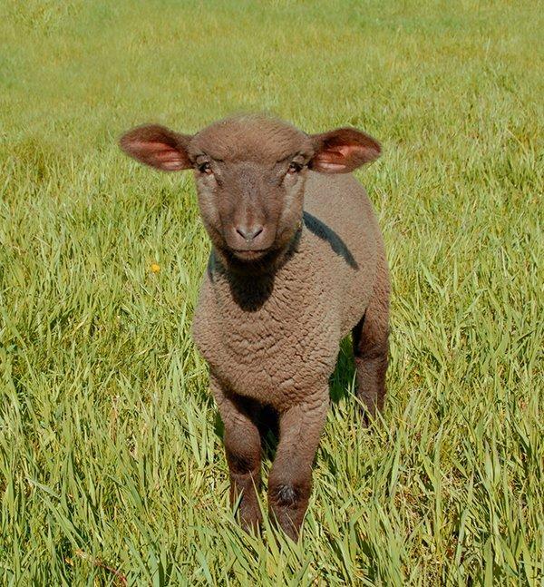 Zuzanna as a lamb