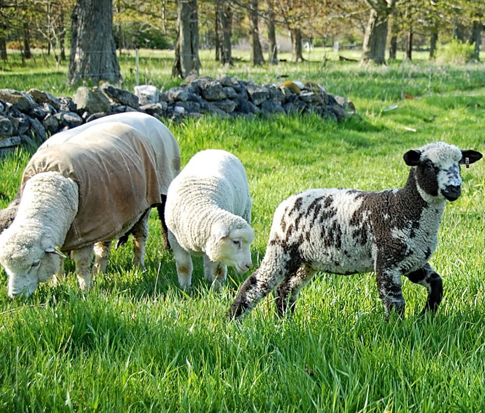 Sheep and lambs grazing on pasture