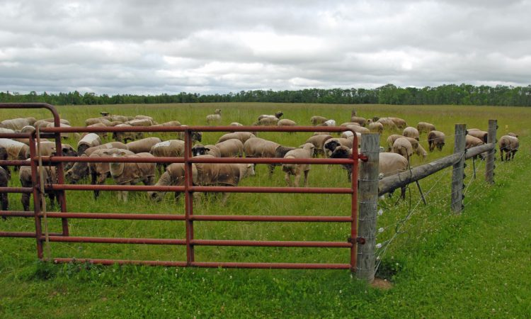 The flock grazing next to the new fence