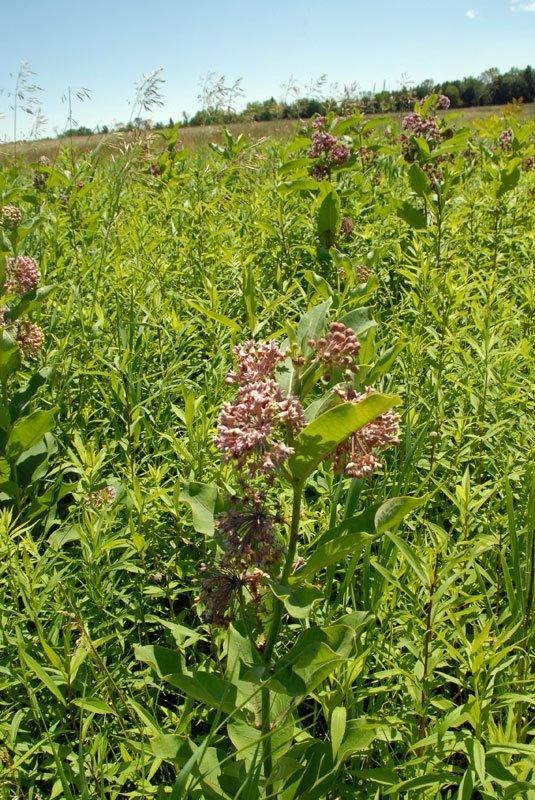 ommon Milkweed