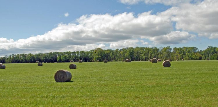 Round bales on our hay field