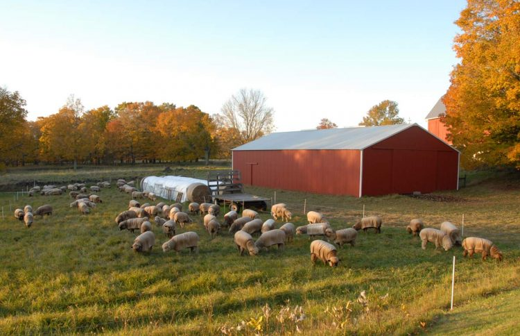 The flock grazing in late October