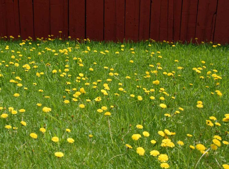 Dandelions blooming next to the barn