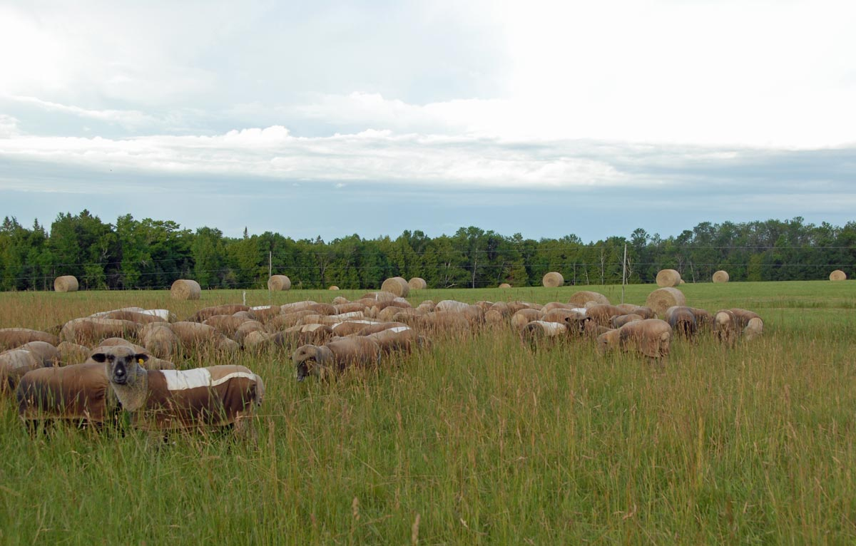 Flock on pasture early in the morning