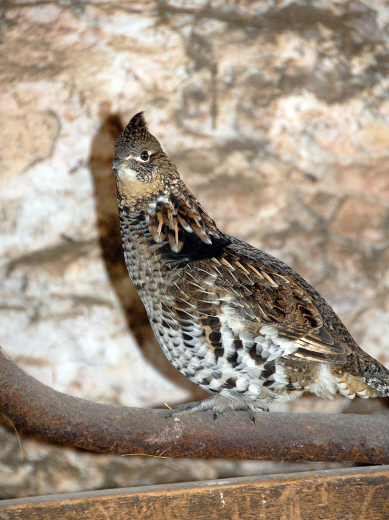 Nervous Ruffed Grouse