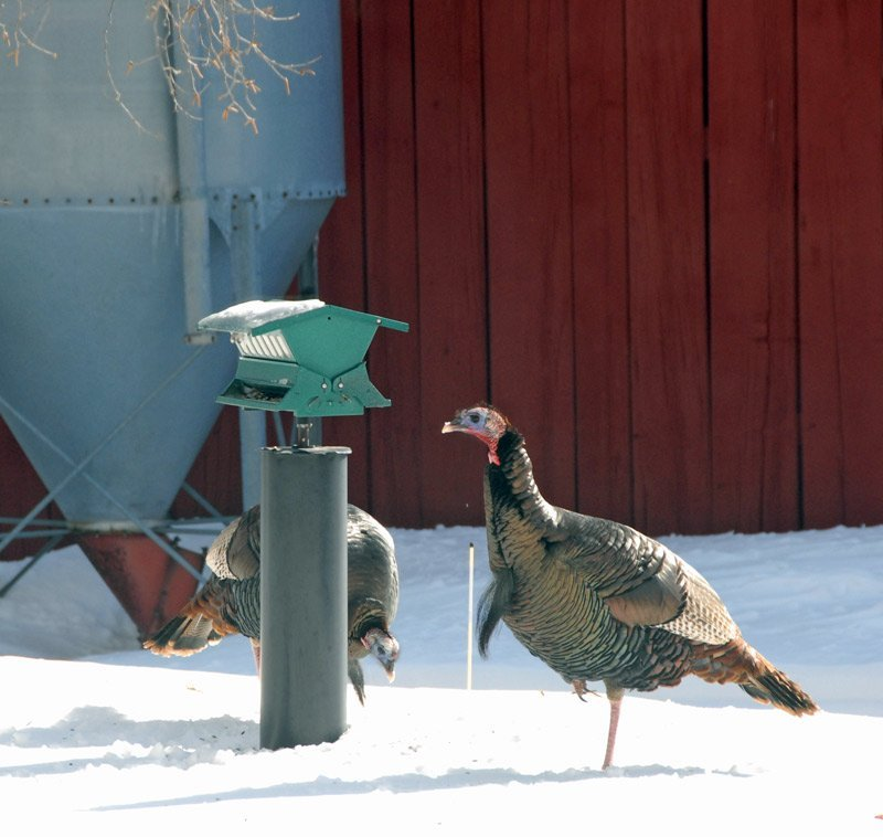 Two tom Turkeys at the bird feeder.