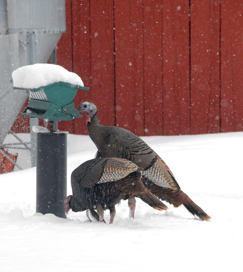 Two tom turkeys at the feeder