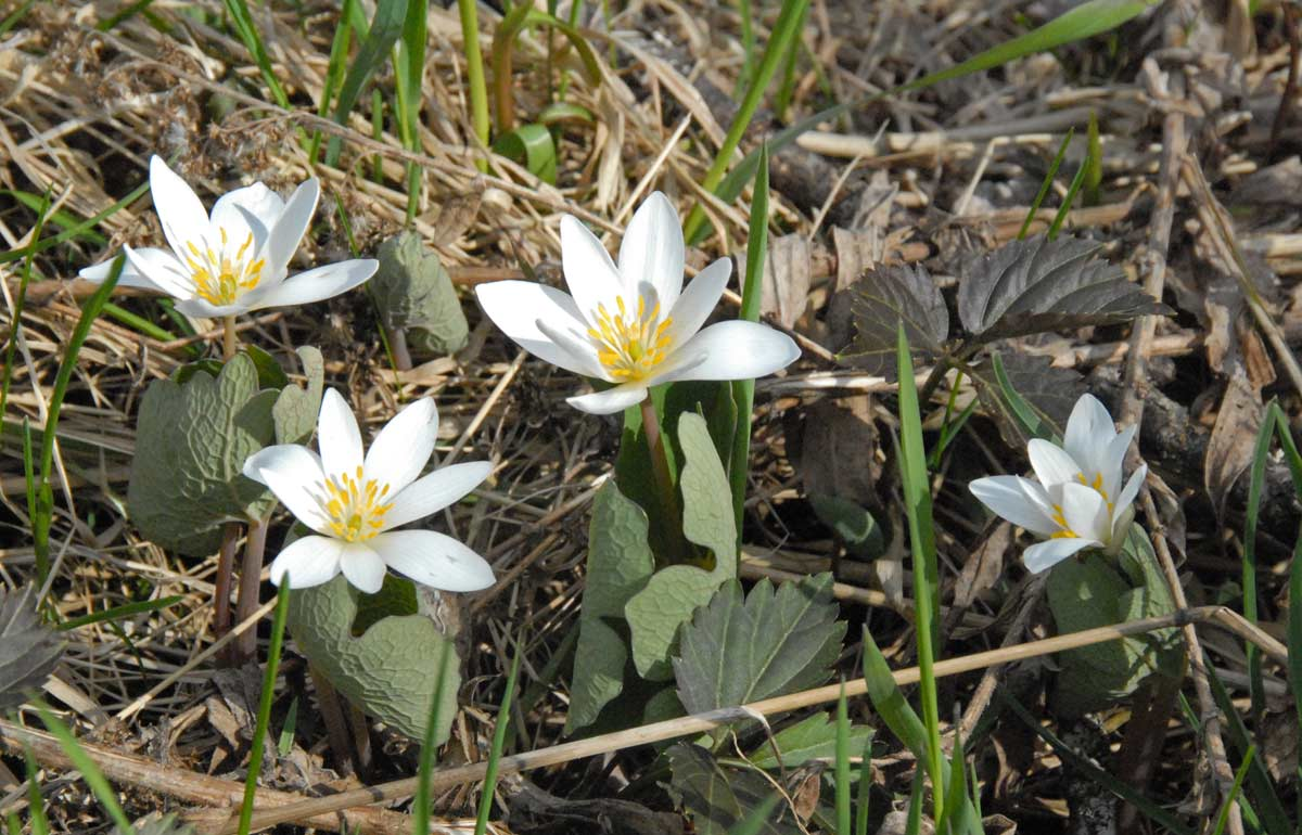 Bloodroot in bloom next to the woods