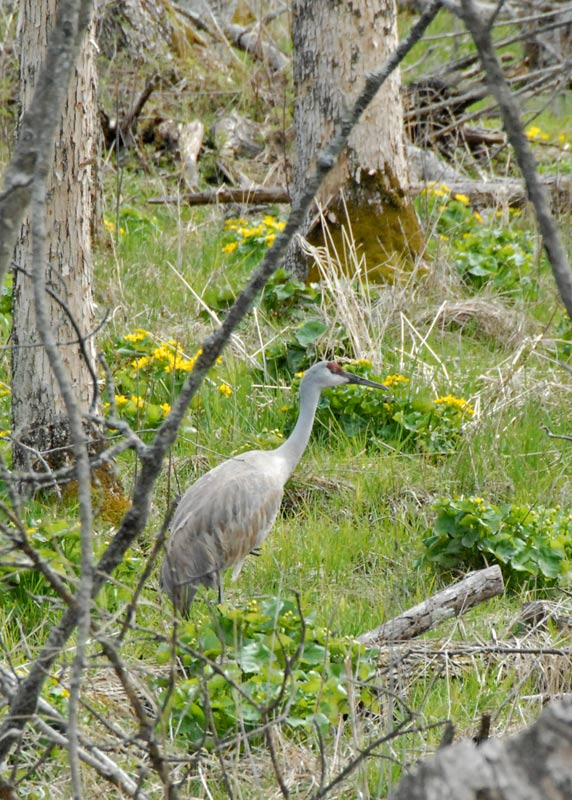 Sandhill Crane amongst the Marsh Marigolds