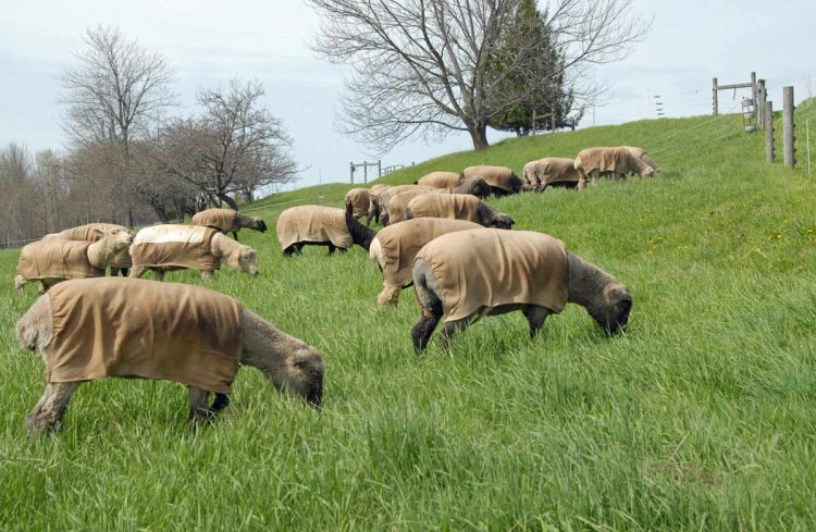 First day of grazing in 2019 at Whitefish Bay Farm