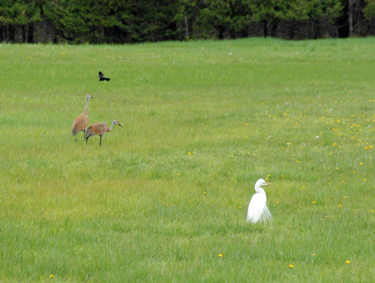 Snowy Egret and Sandhill Cranes