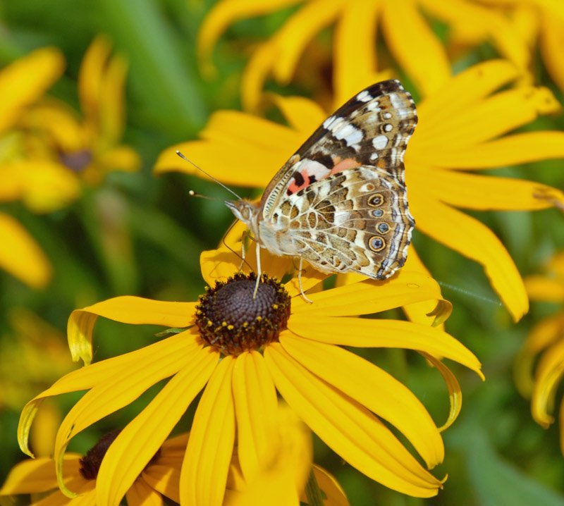 Painted Lady Butterfly on Black-eyed Susan