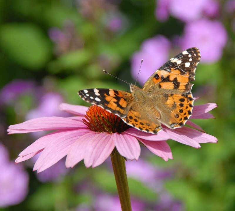 Painted Lady Butterfly on a Cone Flower
