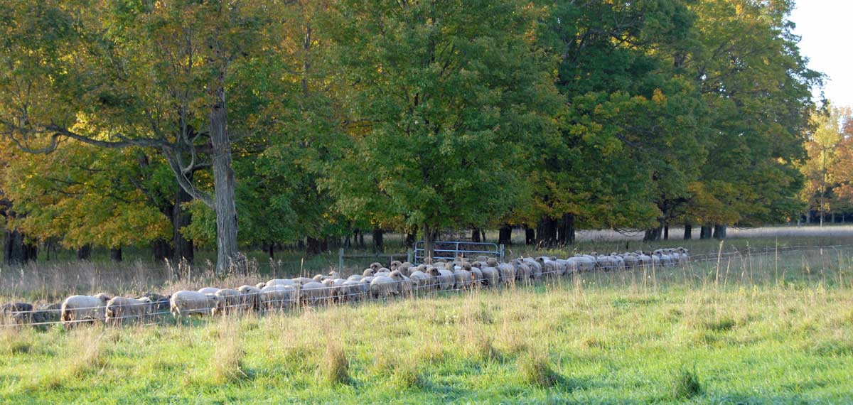 The flock heading out to pasture