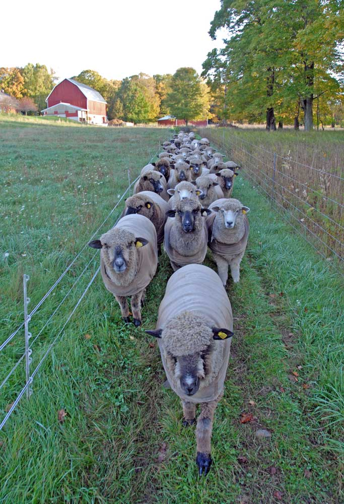 The front of the flock heading out to pasture