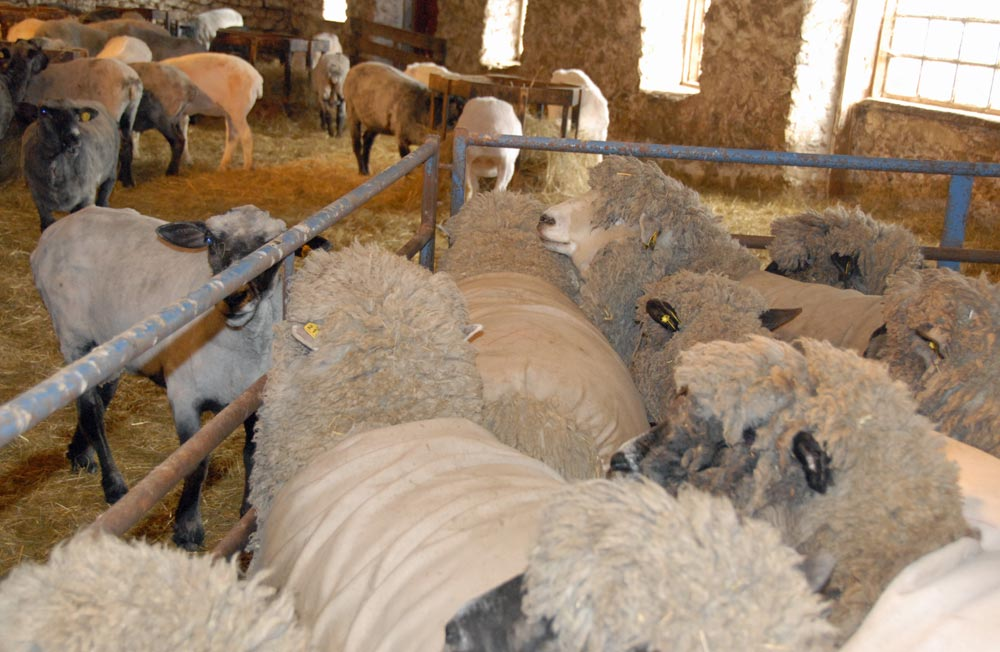 Some of the flock still waiting to be sheared