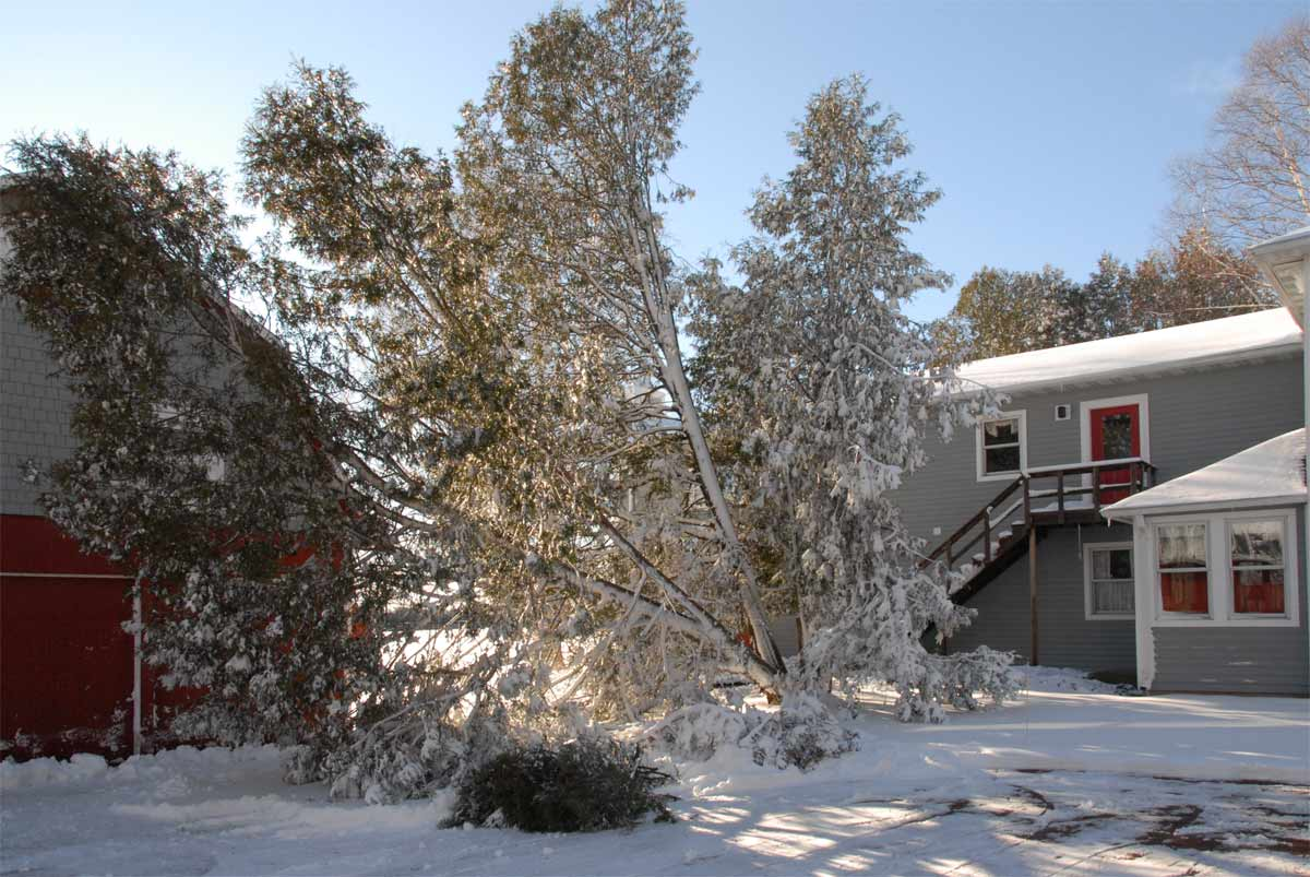 Cedar trees pulled down by heavy snow