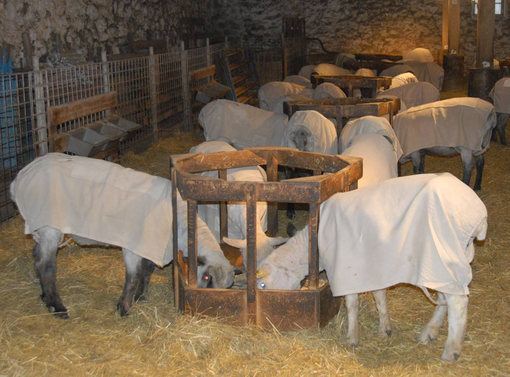 Sheep in fresh, clean coats