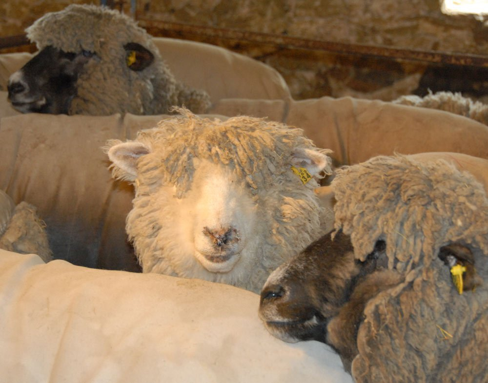 Wooly faces waiting to be sheared