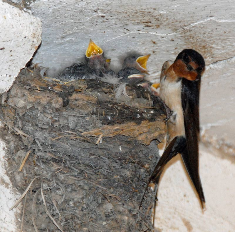 Young Barn Swallows waiting for breakfast