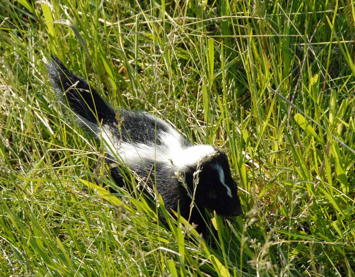 Baby skunk heading out to pasture with the sheep