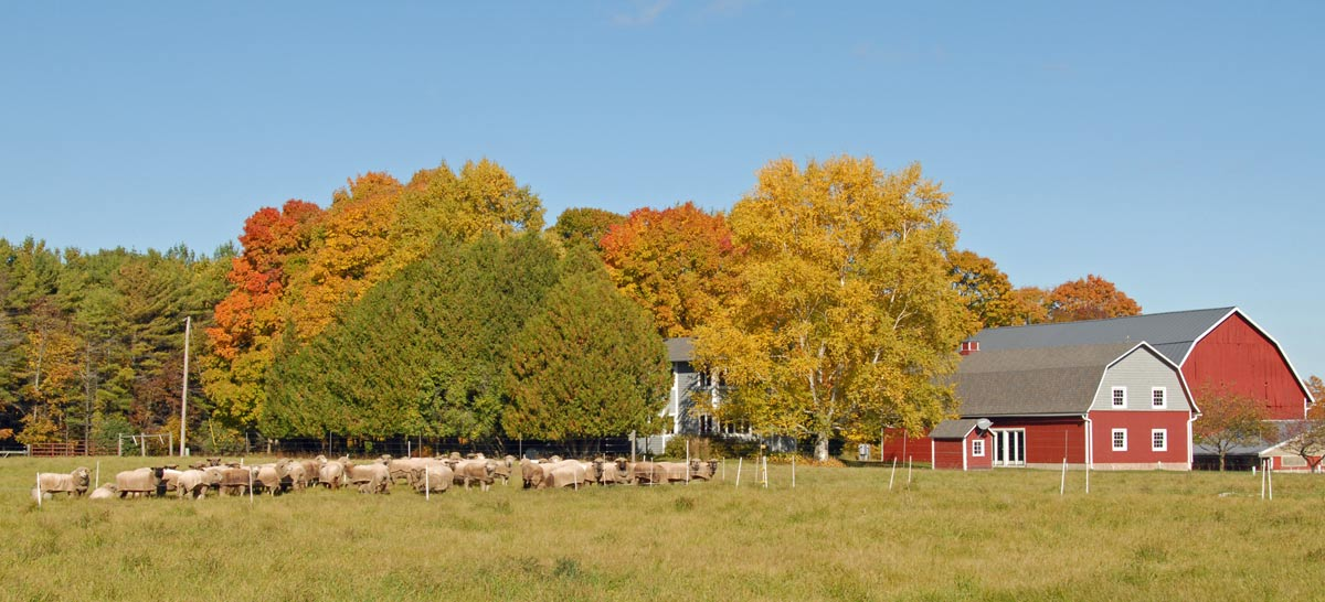 The flock, grazing next to the house